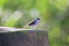 Det lilla gråa fågelsammanträdet på trottoaren (Republiken Kongo) Royaltyfria Foton