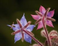Det lilla krypet på en liten blått blöter blomman royaltyfri fotografi