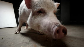 Det lilla svinet äter stock video