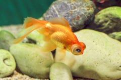 Det ljusa orange fisk-teleskopet svävar i akvariet Royaltyfri Bild