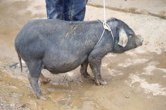 Det lokala svinet kommas med till marknaden som är till salu på den canCau marknaden, den Simacai staden, Lao Cai, Vietnam Arkivfoton