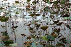 Det Lotus dammet/Lotus vissnade Arkivfoto