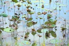 Det Lotus dammet/Lotus vissnade Fotografering för Bildbyråer