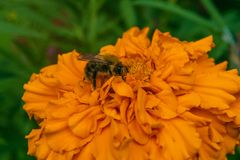 Det lurviga biet samlar en nektar Arkivfoton