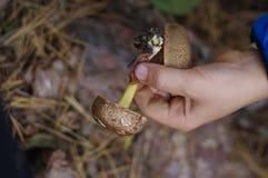Det lyckliga barnet samlar champinjoner i höstskogen arkivbild