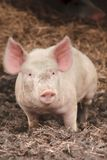 det lyckliga rosa svinet behandla som ett barn arkivfoto