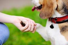 Det lydiga husdjuret med hans ägareövning tafsar kommando Arkivfoton