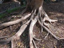 Det mäktiga kraftiga trädet rotar sträckning på jordningen royaltyfri fotografi