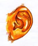 Det mänskliga örat skissar Arkivfoto