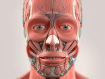 Det mänskliga anatomivisninghuvudet, framsida, synar Arkivfoto