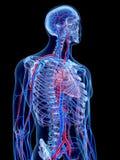 Det mänskliga kärl- systemet vektor illustrationer