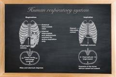Det mänskliga respiratoriska systemet arkivbilder