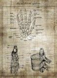Det mänskliga skelett- systemet, del av kroppen royaltyfria bilder