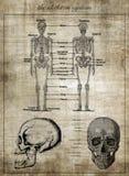 Det mänskliga skelett- systemet, del av kroppen royaltyfri foto