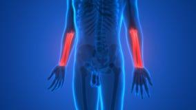 Det mänskliga skelettet benar ur anatomi (radie- och armbågsbenben) royaltyfri illustrationer