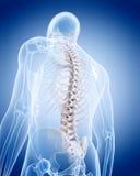 Det mänskliga skelettet - ryggen Arkivfoton