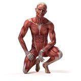 Det manliga muskulösa systemet royaltyfri illustrationer