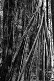 Det massiva trädet stöttas förbi rotar Tangkoko parkerar Arkivfoto