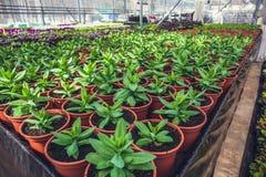Det moderna hydroponic växthuset i solljus med klimatkontroll, odling av seedings, blommar Industriell trädgårdsnäring royaltyfri foto