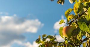 Det mogna äpplet hänger på filialen av trädet Fotografering för Bildbyråer