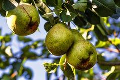 Det mogna päronet hänger på en trädfilial, mogen frukt för höst på ett träd Päronträd laden med frukt i en fruktträdgård i solen fotografering för bildbyråer