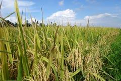 Det mogna risfältfältet är klart för skörd Arkivfoton