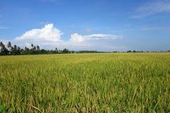 Det mogna risfältfältet är klart för skörd Royaltyfri Fotografi