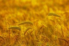 Det mogna torra örat av guld- vete i dropparna efter regn i ett fält på solnedgången arkivbild
