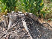 Det murkna trät nära dagen ska ruttna bort varje dag Royaltyfria Foton