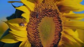 Det nära övre biet som täckas i pollen, samlar nektar från solrosblomningen stock video