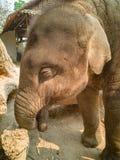 Det nära övre fotoet behandla som ett barn elefanten fotografering för bildbyråer