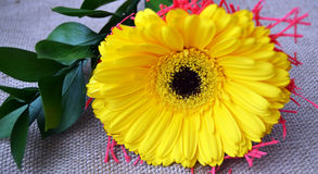 Det nära fotoet av gula gerberblommor Royaltyfri Fotografi