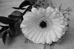 Det nära fotoet av gula gerberblommor Royaltyfria Bilder