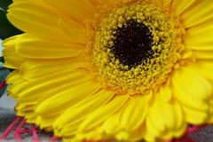 Det nära fotoet av gula gerberblommor Arkivbild
