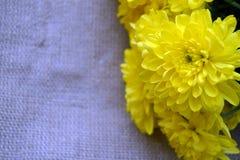 Det nära fotoet av gula krysantemumblommor Arkivbilder
