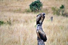 Gam i masaien mara Fotografering för Bildbyråer