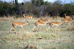Empala i masaien mara Arkivfoton