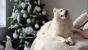 Det nya året hund ligger på slags tvåsittssoffa stack vita plädet nära det festively dekorerade julträdet stock video