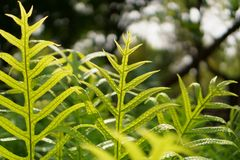 Det nya gröna bladet av vårtaormbunken av Hawaii med daggdroppar under solljusmorgon, kallade monarkormbunken eller myskormbunken fotografering för bildbyråer