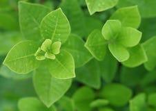 Det nya gröna bladet med vatten tappar för bakgrund Arkivfoton