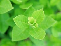 Det nya gröna bladet med vatten tappar för bakgrund Royaltyfri Bild