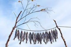 Det nya låset av fisken är att torka som är utomhus-, eller Clipfish arkivbild