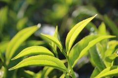 Det nya tebladet slår ut i tekolonin Royaltyfri Foto