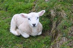 Det nyfödda lammet vilar i gräs Royaltyfria Bilder