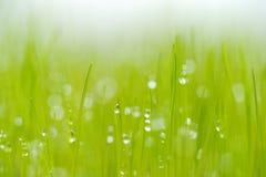 Det nyligen fullvuxna gräset med daggdroppar Royaltyfria Foton