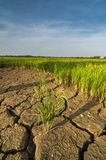 Det ointressanna landet på risfältfältet Royaltyfri Bild