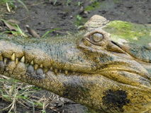 Det onda ögat - läskig Closeup för alligatorkrokodilögonglob Arkivfoto