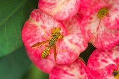 Det onda getingsammanträdet på en rosa blomma Arkivbild