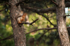 Det orange härliga ekorresammanträdet på trädet och ätamuttern i skogen Fotografering för Bildbyråer