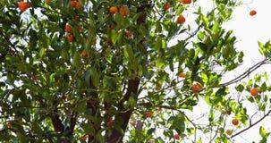 Det orange trädet i nolla-` Melveny parkerar i Granada Hills, CA 24fps 4k lager videofilmer